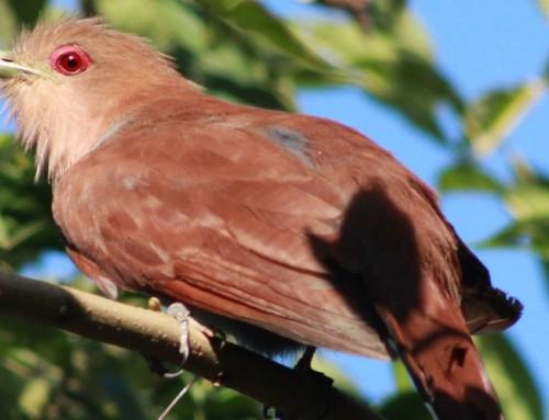 Bird watching em Mogi das Cruzes
